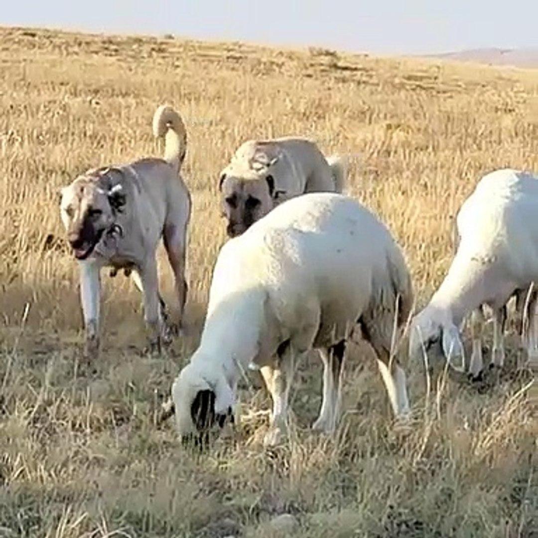 SiVAS KANGAL KOPEKLERi GOREVi BASINDA VOLTA - KANGAL SHEPHERD DOGS