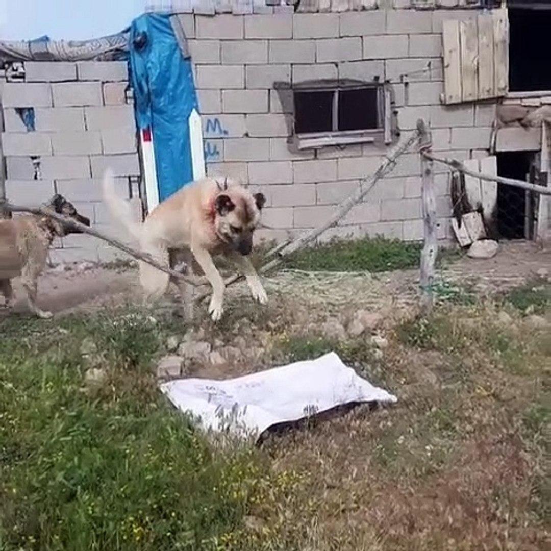 SiVAS KANGAL KOPEGi FiRARDA - KANGAL SHEPHERD DOG ESCAPE