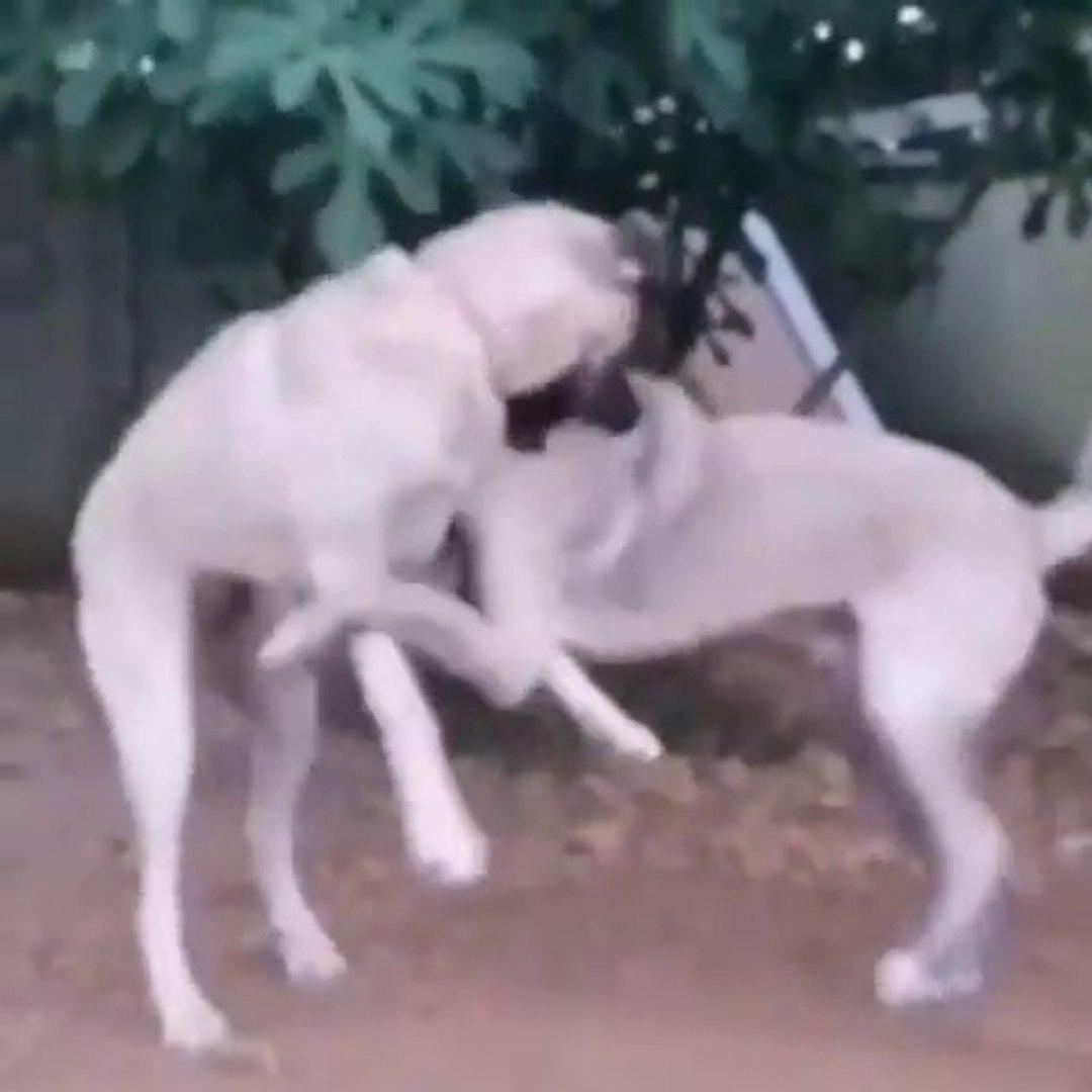 SiVAS KANGAL KOPEKLERiNDEN SEViMLi VS - KANGAL SHEPHERD DOGS CUTE VS