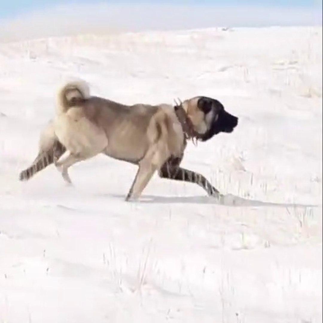 SiVAS KANGAL KOPEGiNiN KARDAKi HEYBETi - KANGAL SHEPHERD DOG and SNOW
