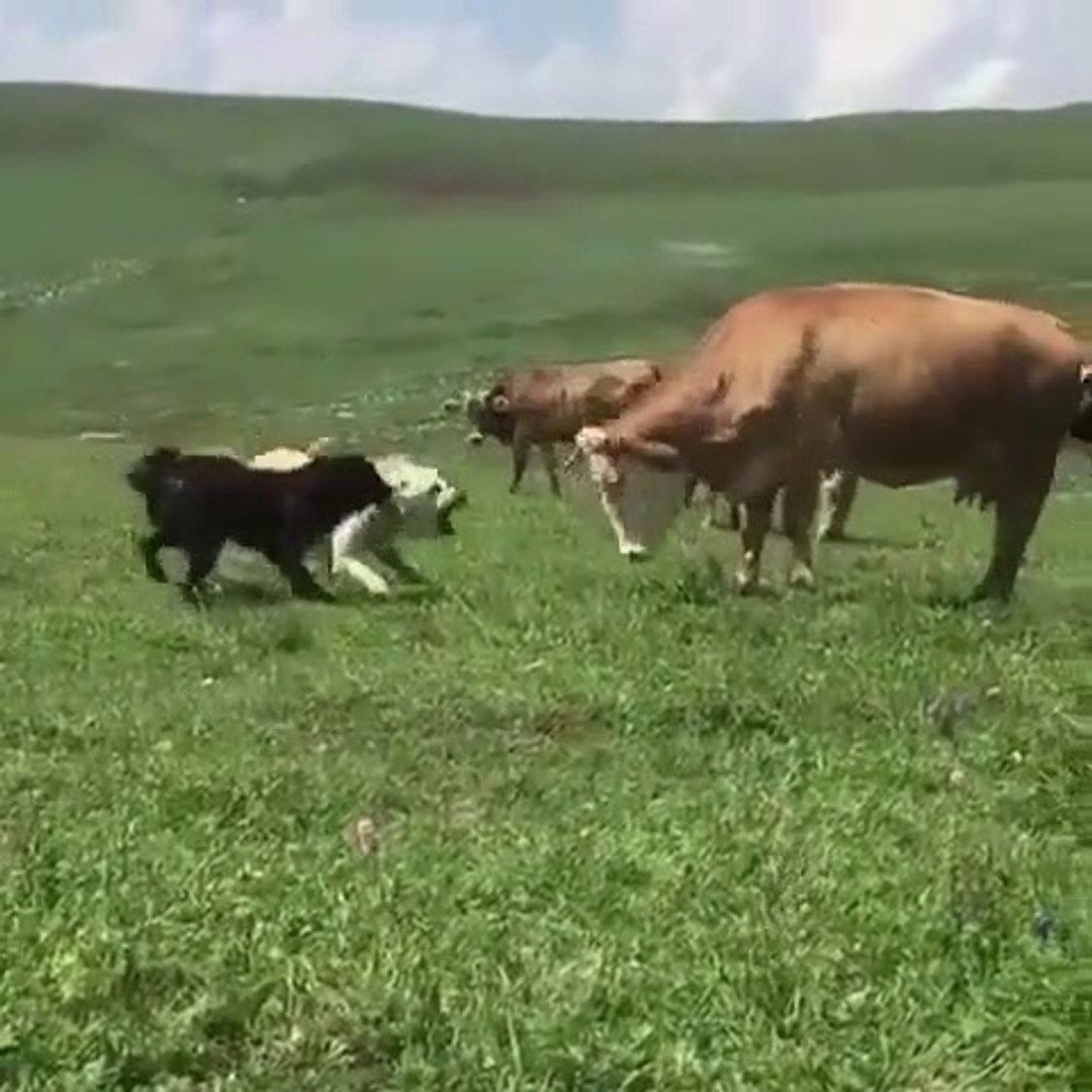 COBAN KOPEKLERi ve iNEKLER KARSI KARSIYA - SHEPHERD DOGS and VS COWS
