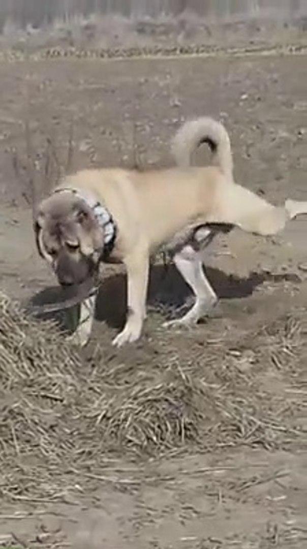DEV ANADOLU COBAN KOPEGi GORMEK iSTEYENLER BUYURSUN - GiANT ANATOLiAN SHEPHERD DOG
