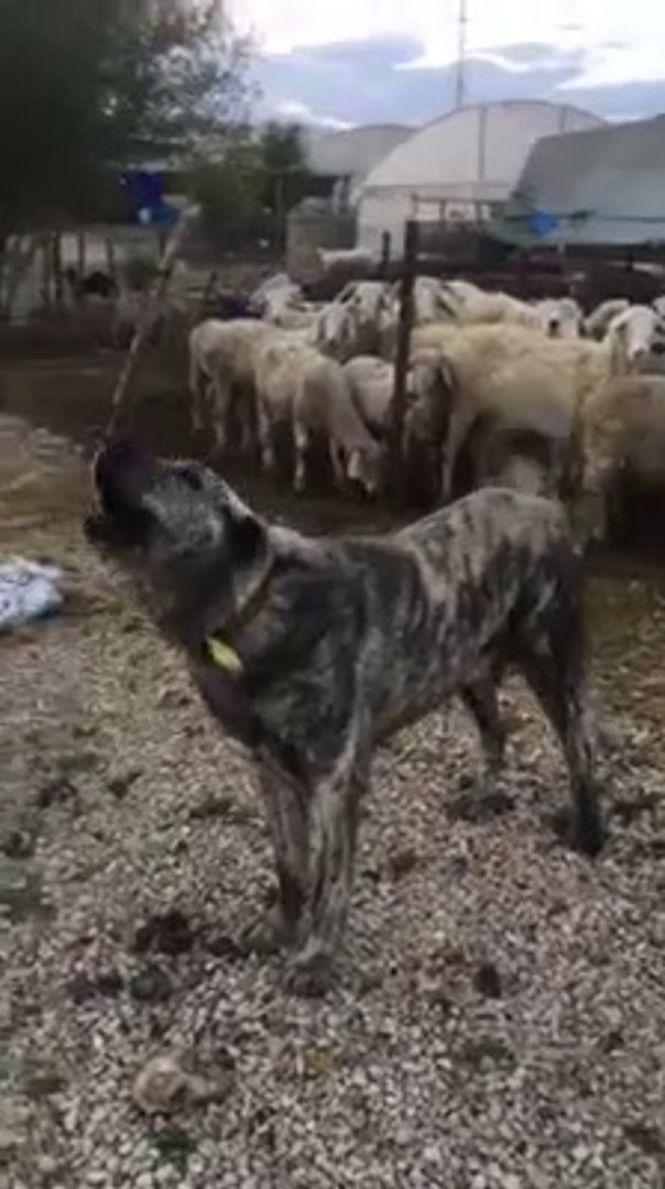 CAPAR COBAN KOPEGi KOYUN BASINDA HAZIR KITA - CAPAR ANATOLiAN SHEPHERD DOG and SHEEPS