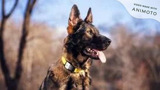 dog leather collar