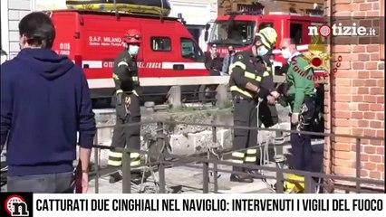 Milano, cinghiali nuotano nel naviglio: catturati dai Vigili del Fuoco