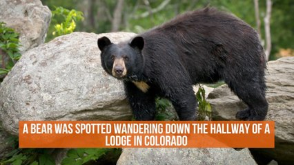 This Bear Likes The Lodge Life