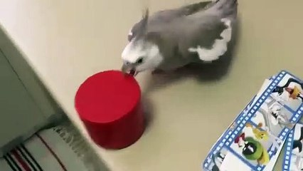 Une perruche qui n'aime pas l'ordre