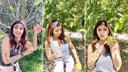 Shilpa Shetty Goes Apple Picking In Manali