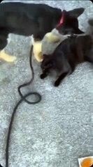 Un chien a de très mauvaises intention envers un chat !