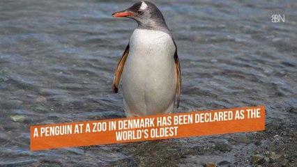 The Oldest Penguin