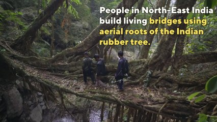 India has bridges made out of living trees