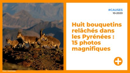 Huit bouquetins relâchés dans les Pyrénées : 15 photos magnifiques