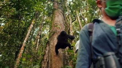 Des gorilles dans la tourmente / Gorillas unter Stress