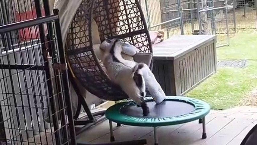 Quand une chèvre s'installe confortablement dans un fauteuil suspendu