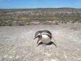 Pingouins à Punta Tombo, Argentine