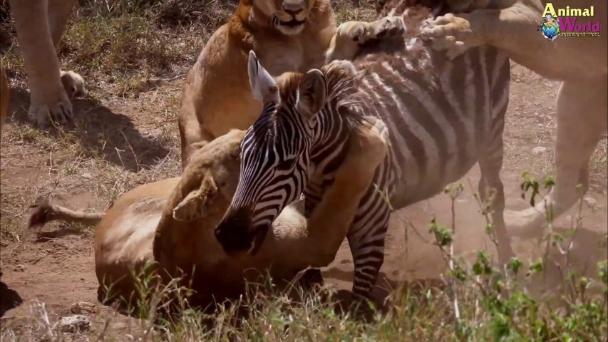 Pride of lions hunting and killing zebras