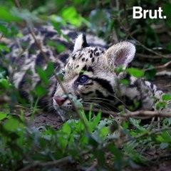 The clouded leopard, a tree-dweling feline