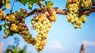 Over 1,000 Pounds of Grapes Were Stolen Off the Vine from a Canadian Winery