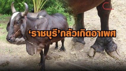 ราชบุรี กลัวอาเพศวัวหน้าโพธิ์ 5 ขา