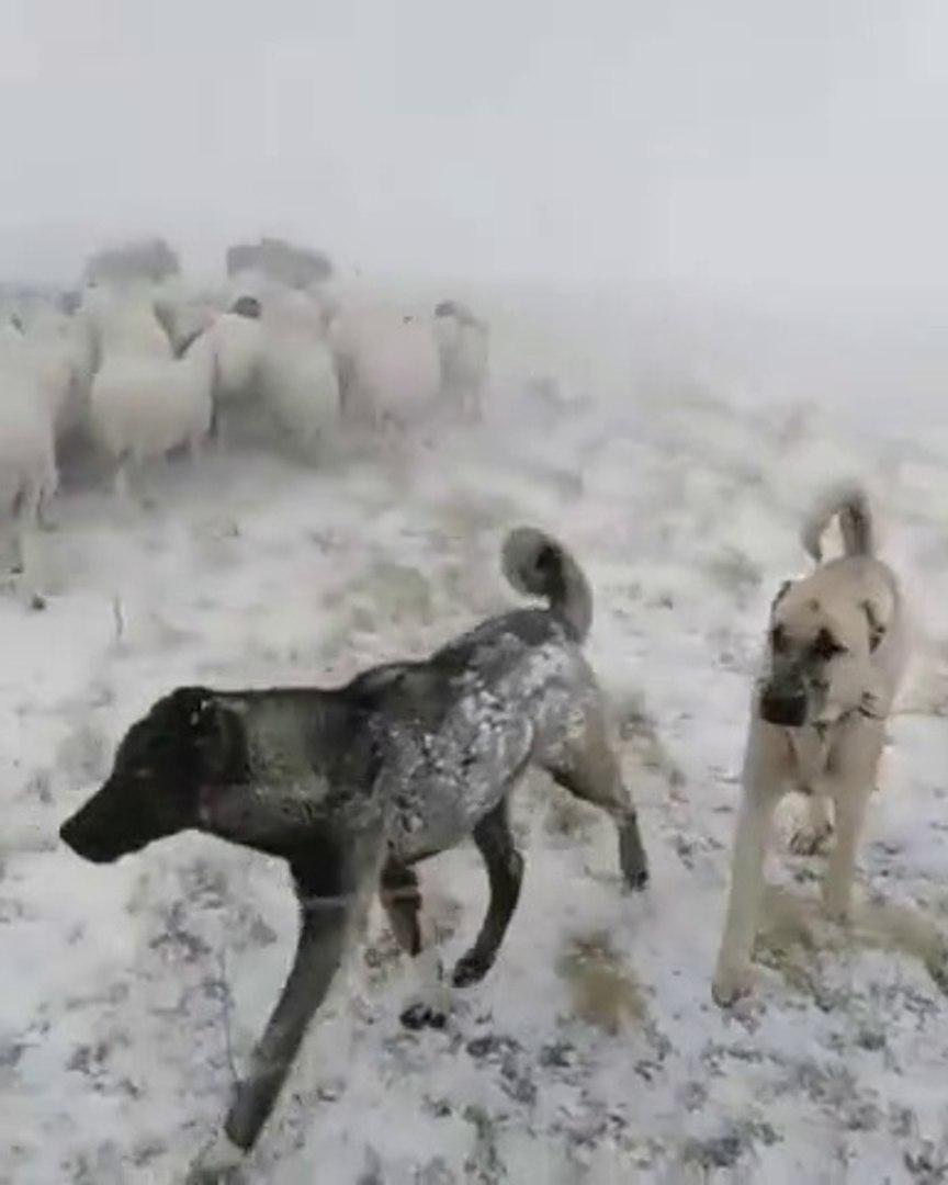 KANGAL KOPEKLERi KARA KIS GOREVi - KANGAL SHEPHERD DOGS at MiSSiON SHEEPS