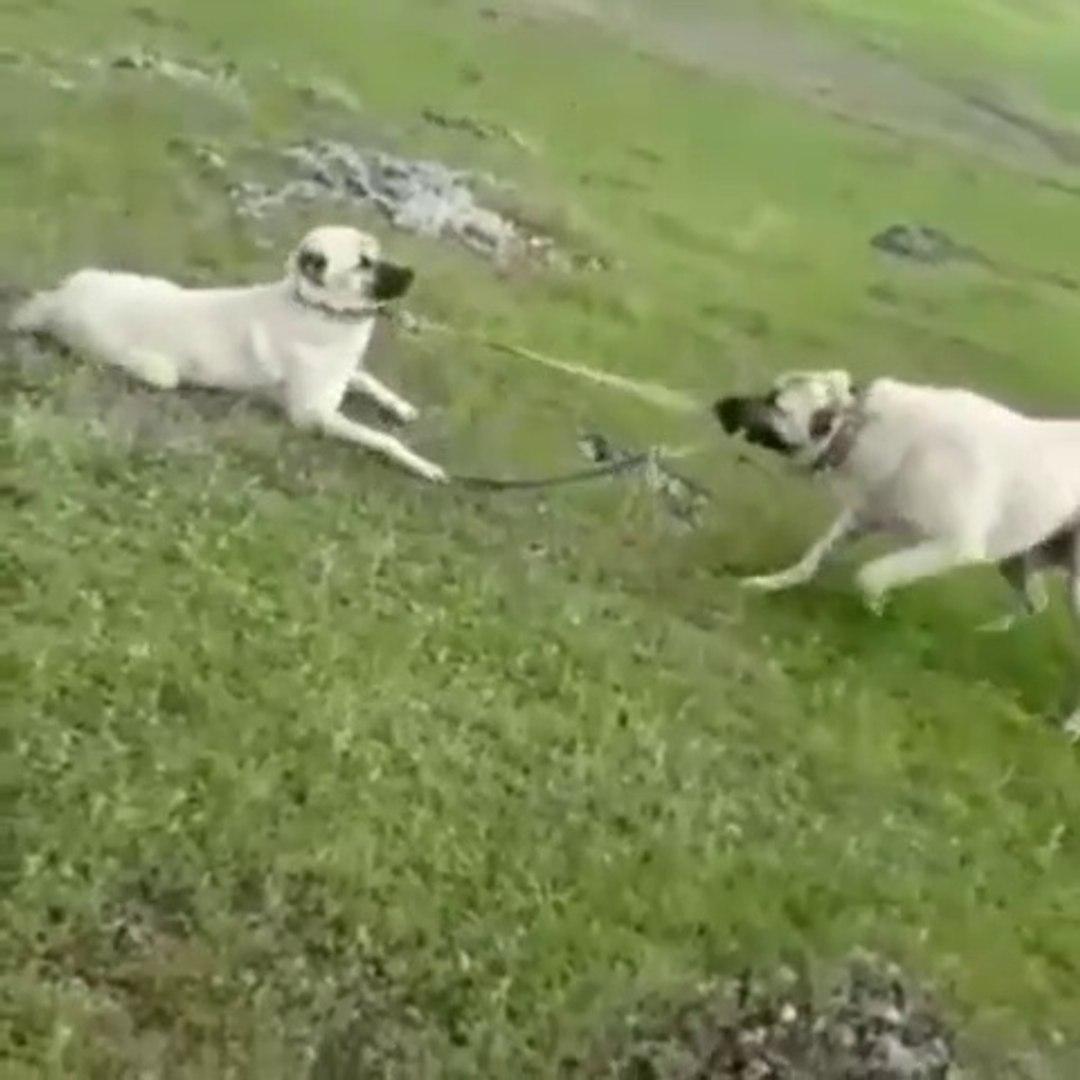 KANGAL KOPEGi SIMARIK OYUN OYNAMASI - KANGAL SHEPHERD DOGS PLAY GAME