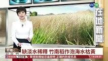 【台語新聞】缺淡水稀釋 竹南稻作泡海水枯黃