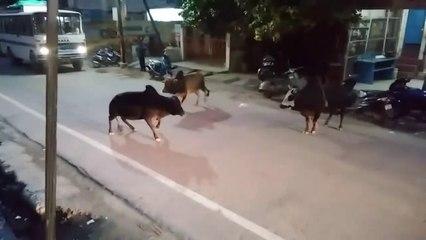 Fierce Bullfighting at Srinagar, Garhwal, India