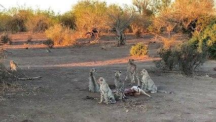 Single Leopard Steals Kill From Cheetah Family