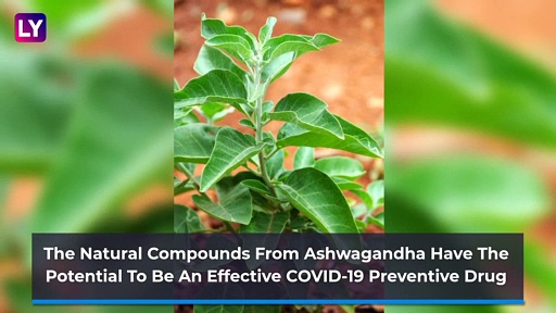 Ashwagandha In Fight Against COVID-19: Know The Benefits Of This Ayurvedic Herb!