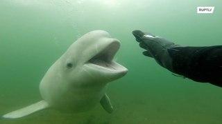 روسيا: اللعب مع الحيتان !!!