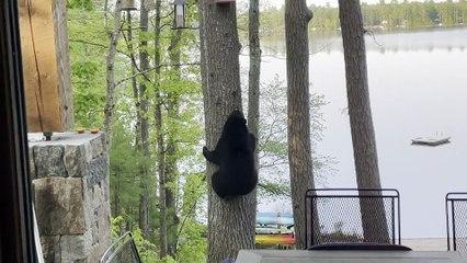 Bear Climbs Tree to Remove Bird Feeder