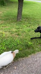 Pygmy Goat Tries to Stop Her Person Leaving Home