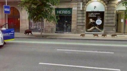 Una familia de jabalíes corta el tráfico en el centro de Barcelona