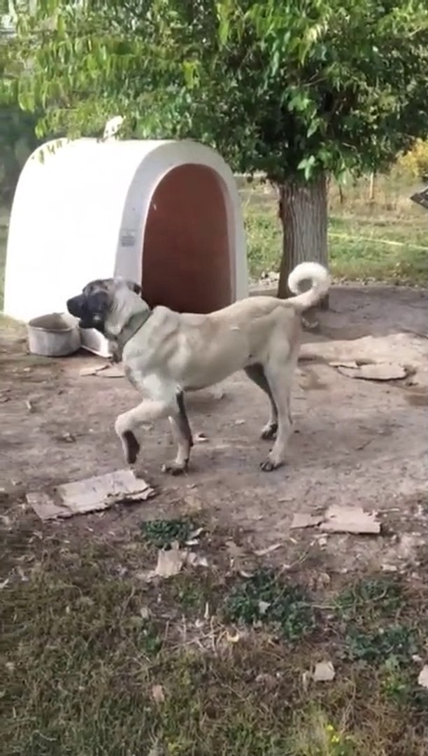 YAVRU COBAN KOPEGiNiN SESSiZLiGi - ANATOLiAN SHEPHERD DOG PUPPY