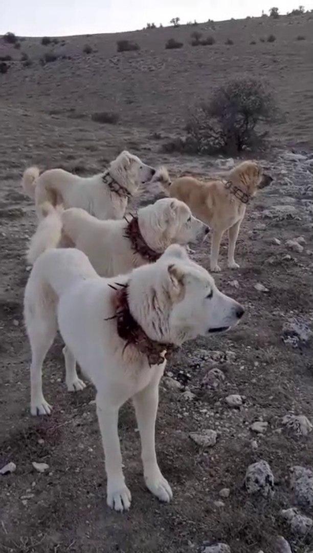 AKBAS COBAN KOPEKLERi MERADA GOREVDE - AKBASH SHEPHERD DOGS