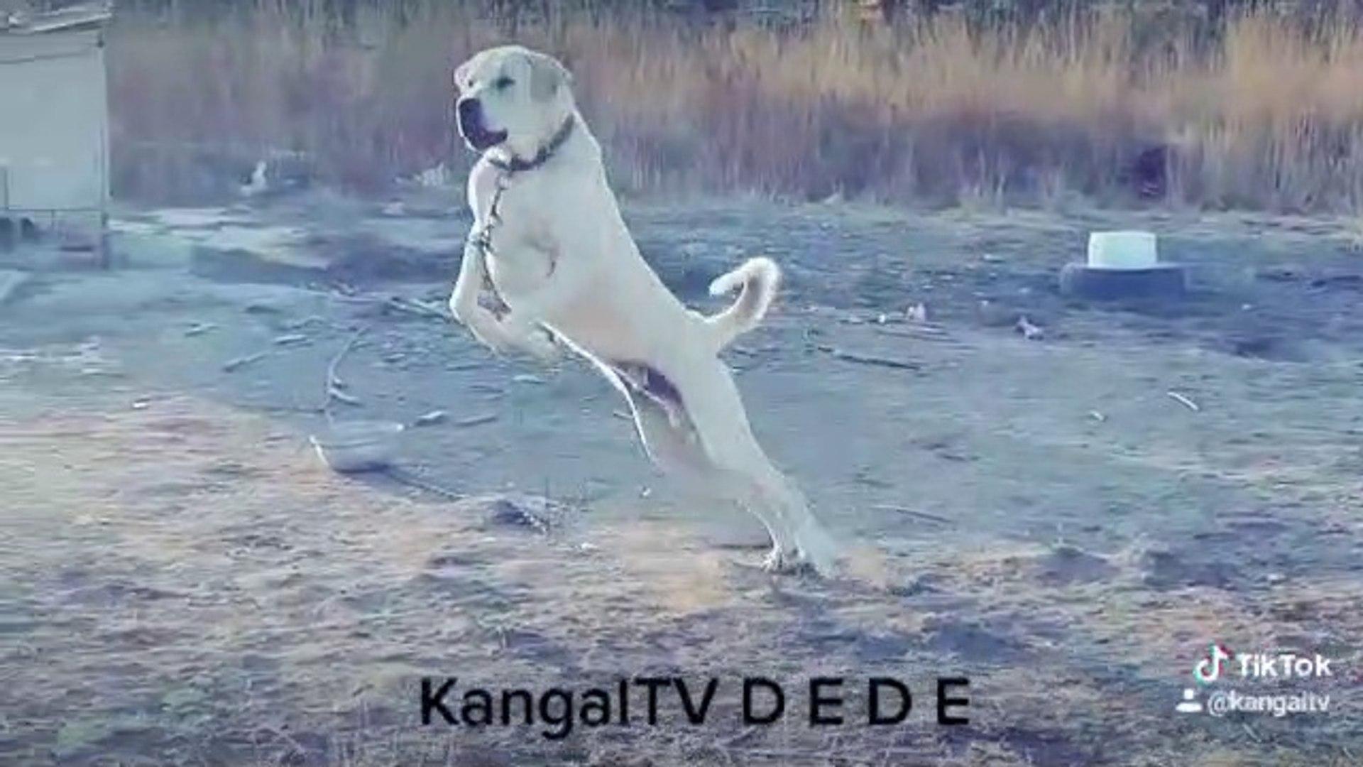 KANGALTV DEDE ANADOLU COBAN KOPEGi AZ KIZMIS - ANATOLiAN SHEPHERD DOG in GARDEN