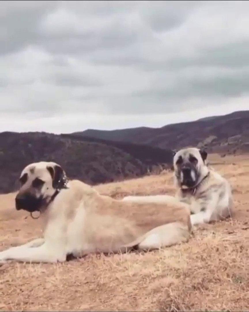 ANADOLU COBAN KOPEKLERi GOREV BEKLiYOR - ANATOLiAN SHEPHERD DOGS