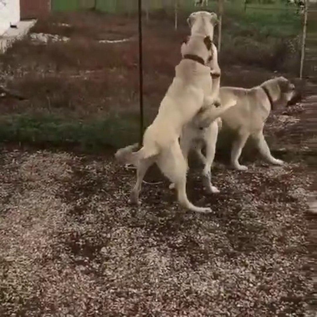 COBAN KOPEKLERi GECEN KOYUN SURUSUNU GORUNCE - ANATOLiAN SHEPHERD DOGS