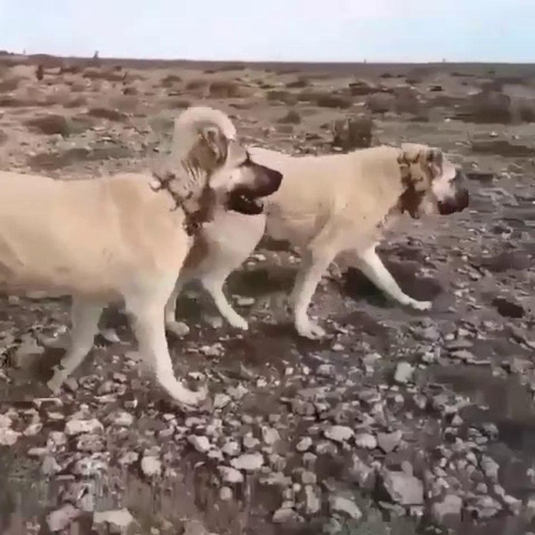 SiMiT KUYRUK KANGAL KOPEKLERi GOREVDE - KANGAL SHEPHERD DOGS at MiSSiON