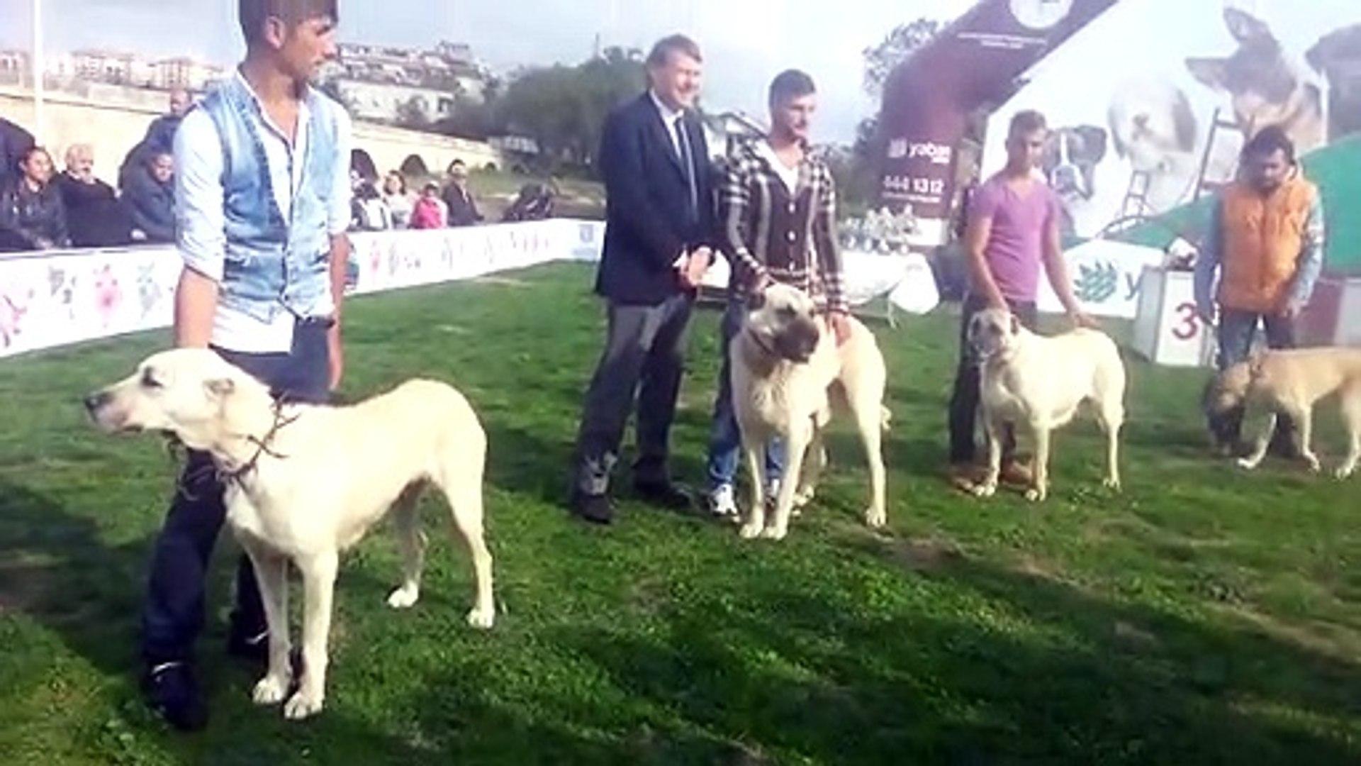 SiLiVRi BELEDiYESiNCE DUZENLENEN SiVAS KANGAL KOPEK YARISMASI - KANGAL SHEPHERD DOGS DOGSHOW