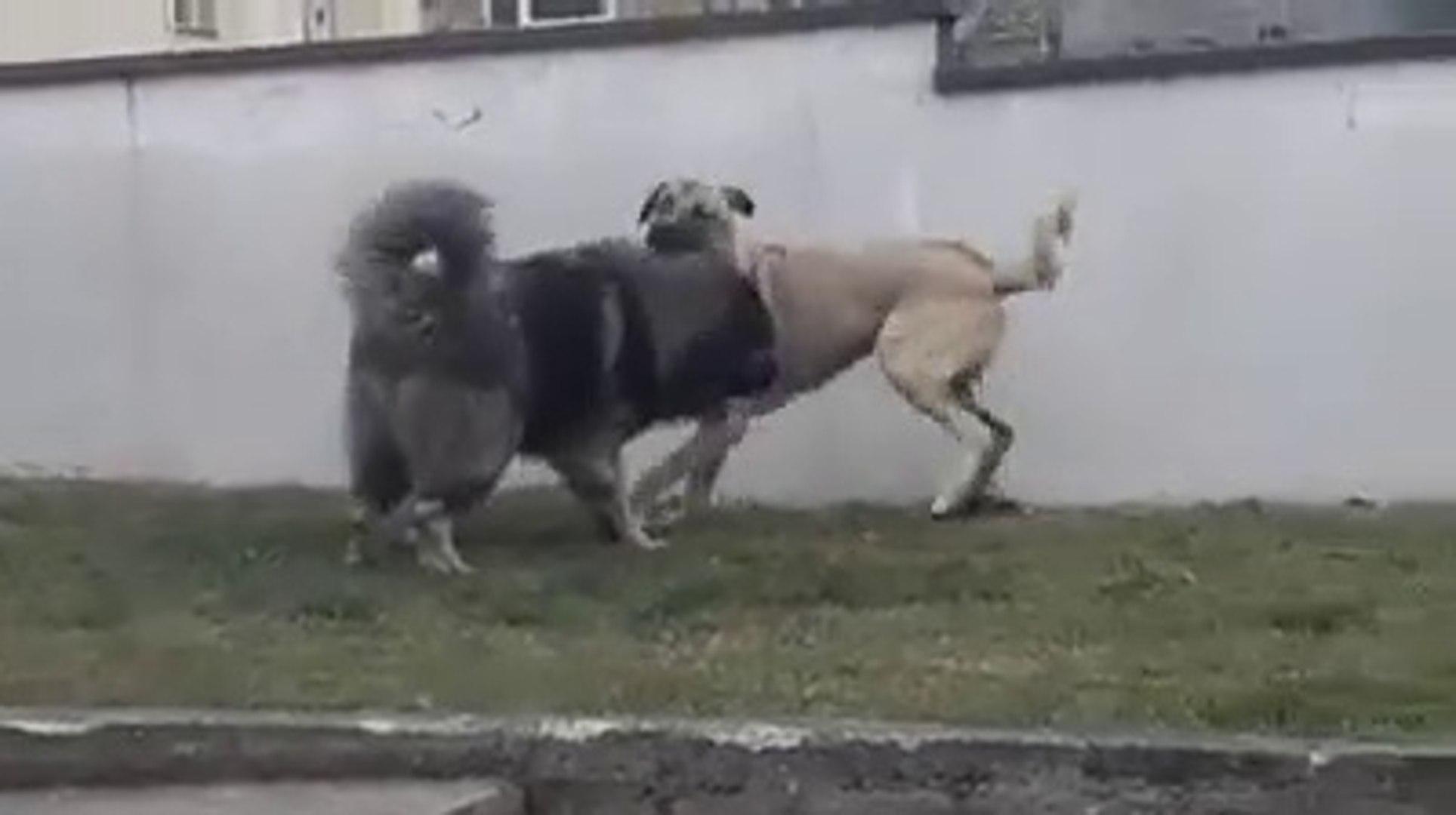 KAFKAS COBAN KOPEGi ile KANGAL KOPEGi KARSILASTI - CAUCASiAN SHEPHERD DOG with KANGAL DOG