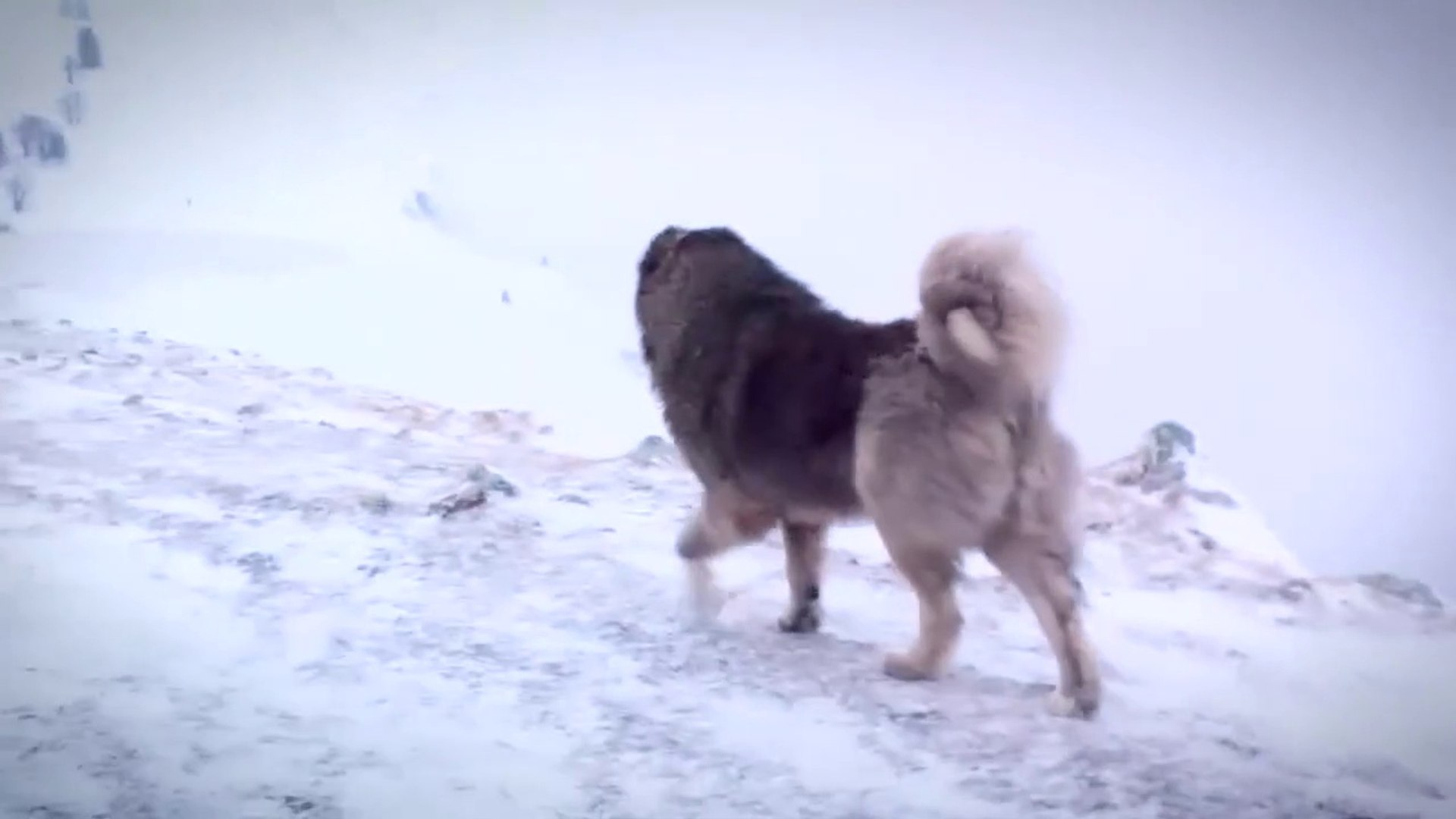 KAFKAS COBAN KOPEGiNiN KAR KEYFi - CAUCASiAN SHEPHERD DOG