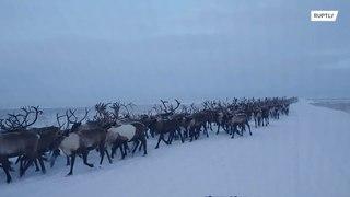 روسيا: لقطات مذهلة لحيوانات الرنة!!!