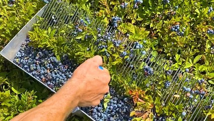 This farm handpicks 2,000 pounds of blueberries a day