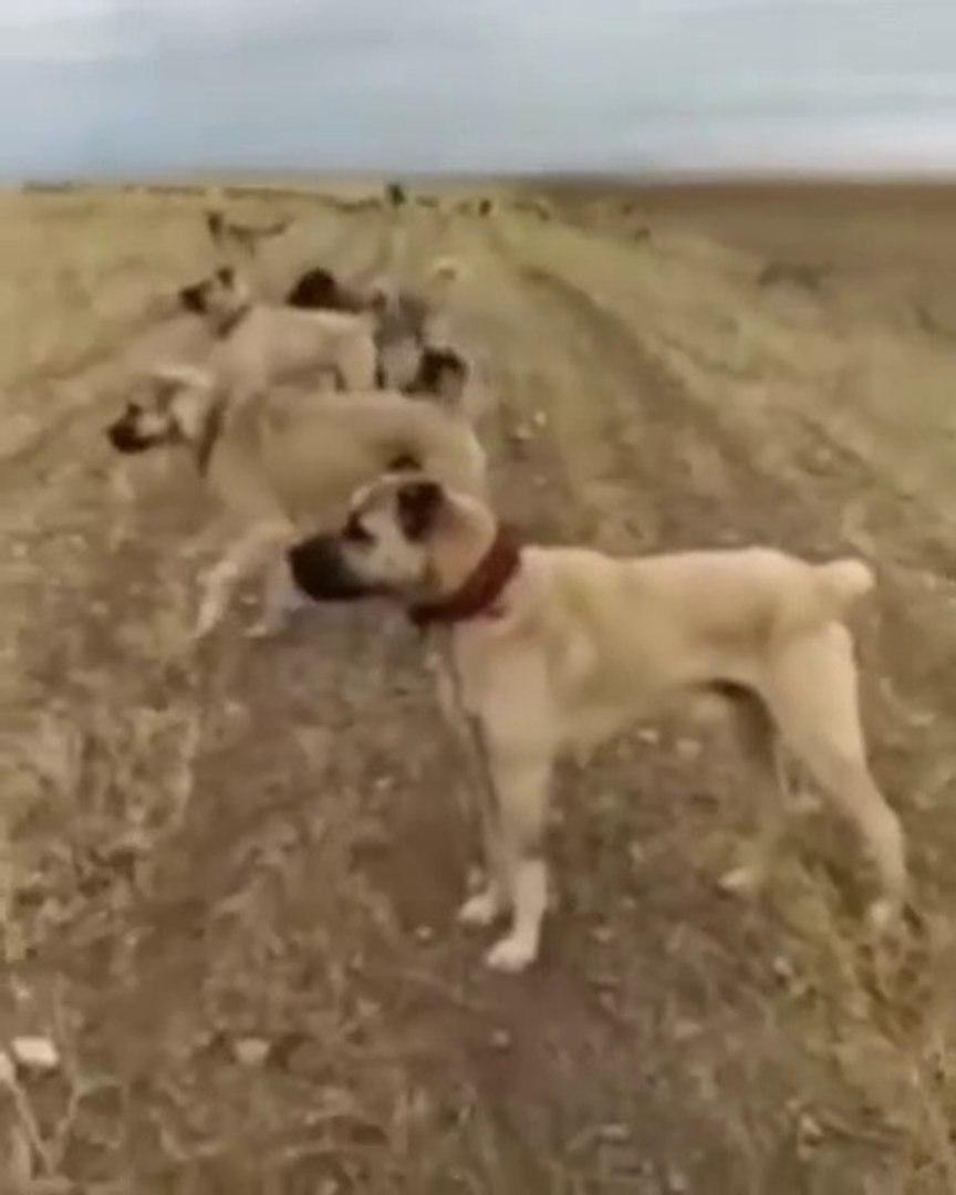 YARIM DUZiNE KANGAL AKBAS ve COBAN KOPEGi ORDUSU - KANGAL AKBASH and SHEPHERD DOGS ARMY
