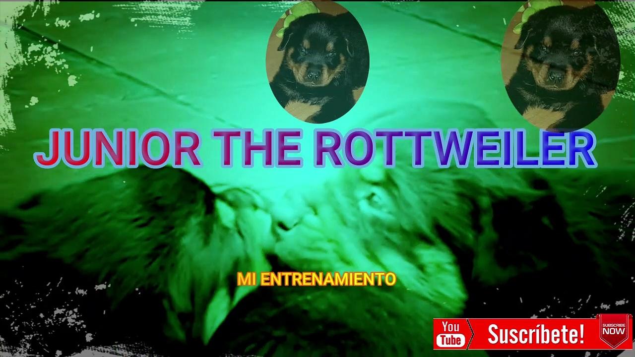 ENTRENAMIENTO CACHORRO ROTTWEILER (Recopilación de ejercicios) JUNIOR THE ROTTWEILER