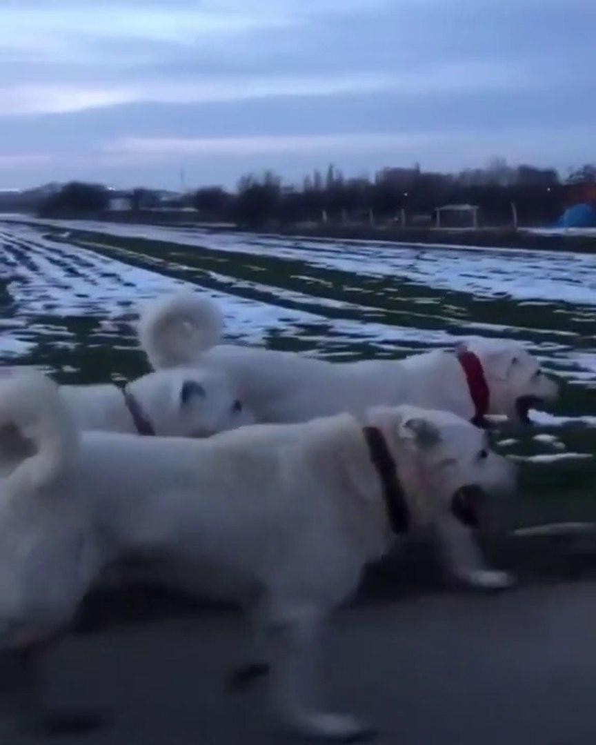 AKBASLAR HEP BiRLiKTE AKSAM KOSUSUNDA - AKBASH SHEPHERD DOGS