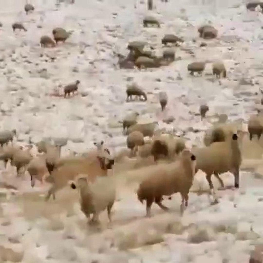 KURDU GOREN KANGAL KOPEGi PESiNE DUSTU - KANGAL SHEPHERD DOG and WOLF RUN