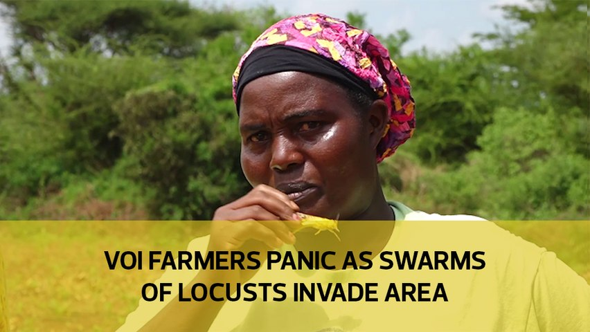Voi farmers panic as swarms of locusts invade area