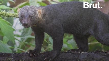 The tayra, a very active little predator